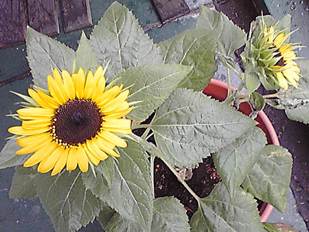 080830_sunflower1.jpg