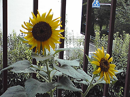 080830_sunflower2jpg.jpg
